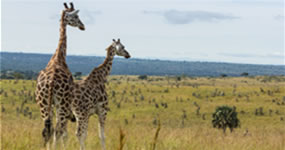 Giraffees in Murchison Falls National Park